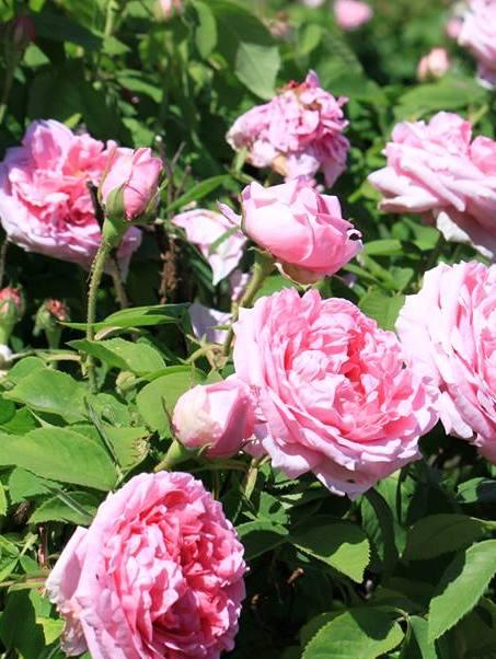 róże-foto-Joanna-Pankowiakczolo.jpg
